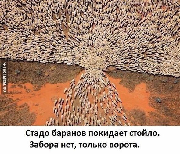 Стадо баранов